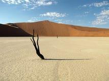 Dead Vlei. Lone acacia tree in Dead Vlei, near Sossusvlei, Namibia Stock Images