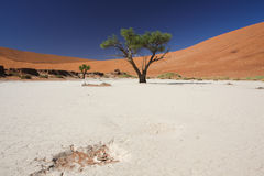 Dead vlei. In the Namib Desert, Africa, dead trees bake under the intense heat of the sun Royalty Free Stock Images