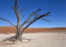 Dead Vlei salt pan - Namibia. Petrified tree at Dead Vlei salt pan near Sossusvlei in the Namib Desert in Namibia stock photo