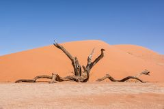 Dead Vlei Tree. Deadvlei in Namibia is a flat clay pan characterized by dark, dead camel thorn trees contrasted against the white pan floor stock photography