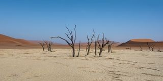 Dead Vlei Trees. Deadvlei in Namibia is a flat clay pan characterized by dark, dead camel thorn trees contrasted against the white pan floor royalty free stock photos