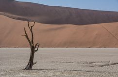 Dead Vlei Trees. Deadvlei in Namibia is a flat clay pan characterized by dark, dead camel thorn trees contrasted against the white pan floor stock photos