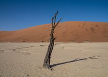 Dead Vlei Trees. Deadvlei in Namibia is a flat clay pan characterized by dark, dead camel thorn trees contrasted against the white pan floor royalty free stock image