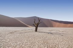 Dead Vlei Trees. Deadvlei in Namibia is a flat clay pan characterized by dark, dead camel thorn trees contrasted against the white pan floor royalty free stock photography