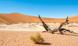 Dead Vlei Trees Royalty Free Stock Images