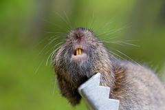 Dead vole. A vole killed by a mouse trap in a garden Stock Photo