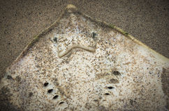 Dead washed up stingray in sand Stock Photos