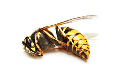 Dead wasp Stock Images