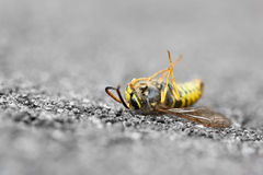 Dead Wasp Stock Photography