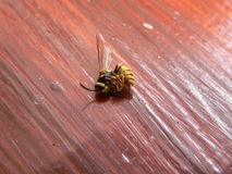 Free Dead Wasp Stock Photography - 56538942