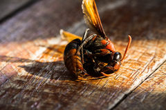 Dead wasp Stock Photo