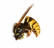 Dead Wasp. Royalty Free Stock Images