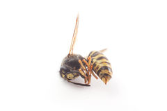 Dead wasp Royalty Free Stock Images