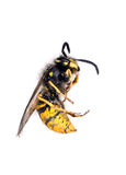 Dead wasp killed by wasp spray Royalty Free Stock Images