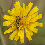 Dead Wasp Resting in Dandelion Stock Images