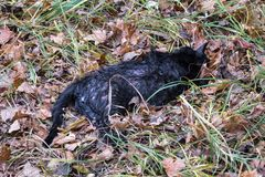 Dead wet black cat lies on the ground among fallen leaves and grass. The dead wet black cat lies on the ground among fallen leaves and grass Royalty Free Stock Image