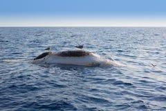 Dead whale upside down floating in ocean sea Stock Photo