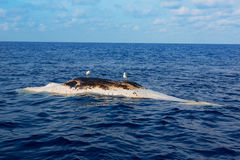 Dead whale upside down floating in ocean sea Stock Images