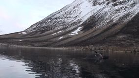 Dead whale in water of Svalbard. stock video