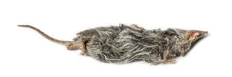Dead White-toothed shrew Stock Photo