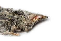 Dead White-toothed shrew Royalty Free Stock Images