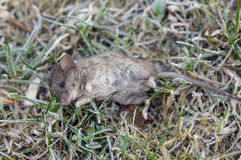 Dead wild mouse Royalty Free Stock Photo