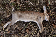 Dead wild rabbit Stock Photos