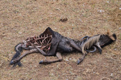 Dead wildebeest Stock Photos