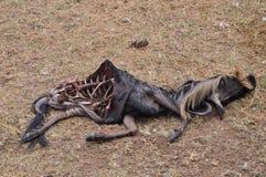Dead wildebeest Stock Photos