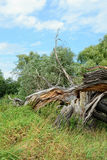Dead willow tree broken by storm Royalty Free Stock Photo