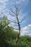 Dead willow tree in landscape. summertime Royalty Free Stock Photo