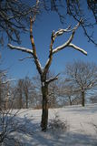 Dead wood. Dead tree standing in snow Stock Photography