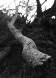 Dead Wood. Dead Branch  - black and white Royalty Free Stock Image