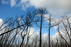 Dead wood. The burnt trees after forest fire Royalty Free Stock Images