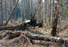 Dead wood. It is result of a last year's fire in a wood. The fire underground - burned peat, roots of trees therefore have burned down and they have fallen. The Stock Photo