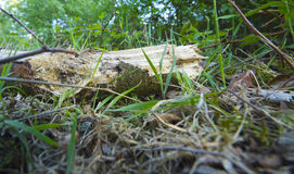 Dead wood. Amongst the forest floor debris Royalty Free Stock Image