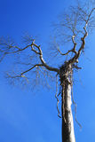 Dead wood with blue sky background Royalty Free Stock Photography