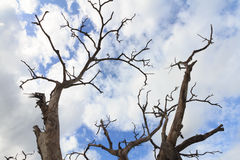 Dead wood in blue sky Royalty Free Stock Photo