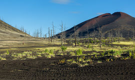 Dead wood - a consequence of a catastrophic release of ash during the eruption of the volcano in 1975 Tolbachik north. Breakthrough - Kamchatka Royalty Free Stock Image