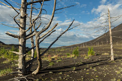 Dead wood - a consequence of a catastrophic release of ash during the eruption of the volcano in 1975 Tolbachik north. Breakthrough - Kamchatka Stock Photo