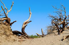 Dead Wood in Death Valley Royalty Free Stock Image