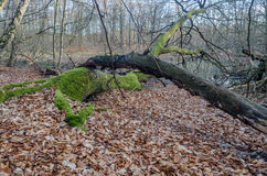 Dead Wood. Fall leaves and moss-covered dead wood in front of a forest lake royalty free stock image