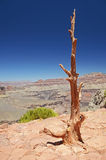 Dead wood in Grand Canyon national park Stock Photography