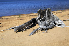 Dead wood. Old trees dried up by the sun on the bank of the lake Royalty Free Stock Image