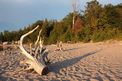 Dead wood on the shore Royalty Free Stock Images