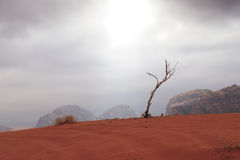 Dead wood in Vadi Rum desert. Royalty Free Stock Photo