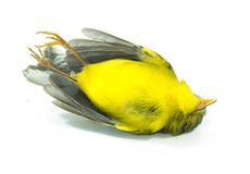 Dead yellow bird Royalty Free Stock Images