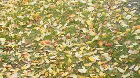 Dead yellow leaves falling on the lawn stock video