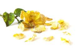 Dead yellow rose stock photos
