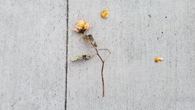 Dead Yellow Rose In The Urban Jungle Stock Photo